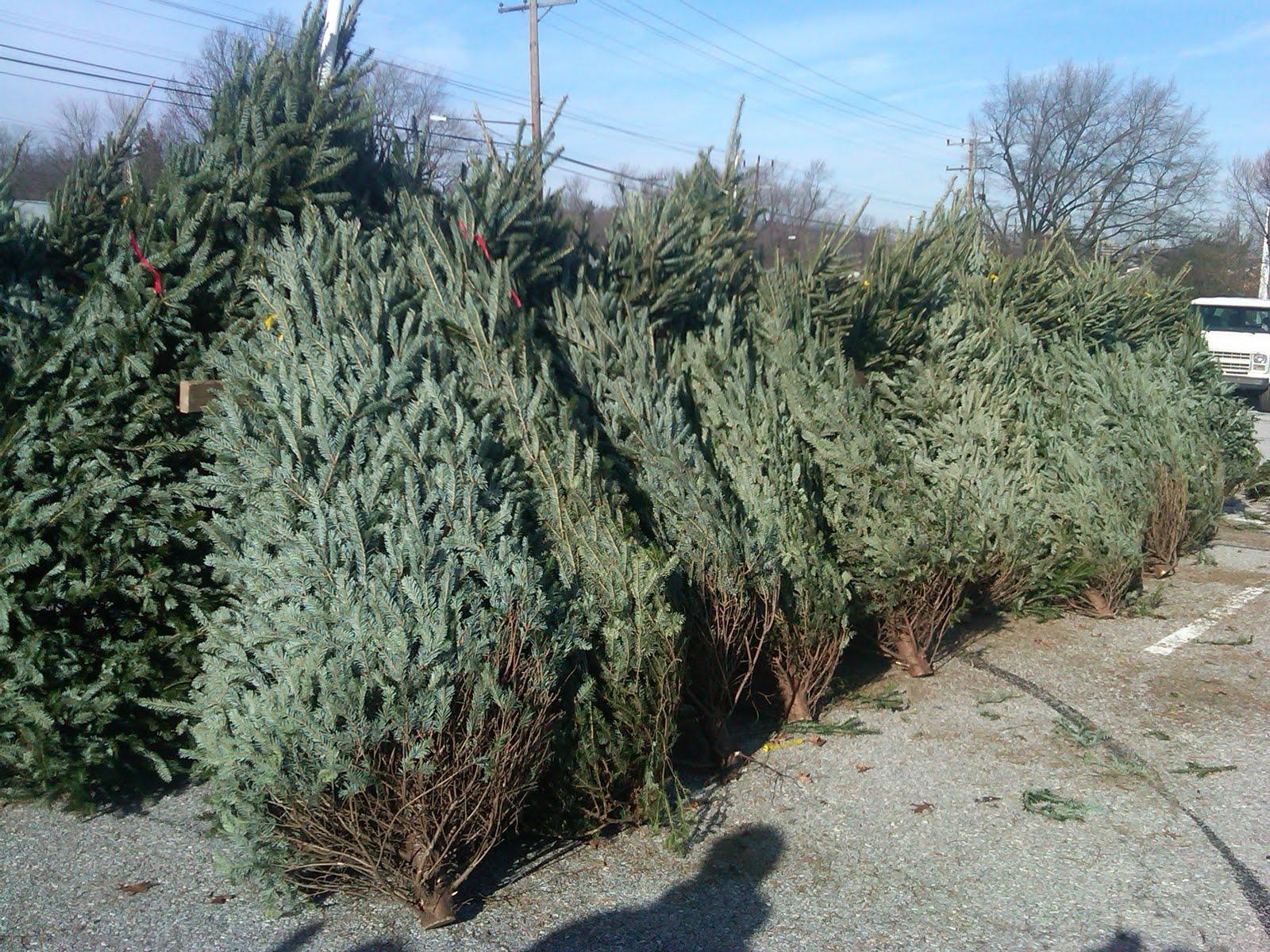 christmas trees sale