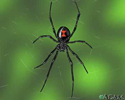 black widow spider picture