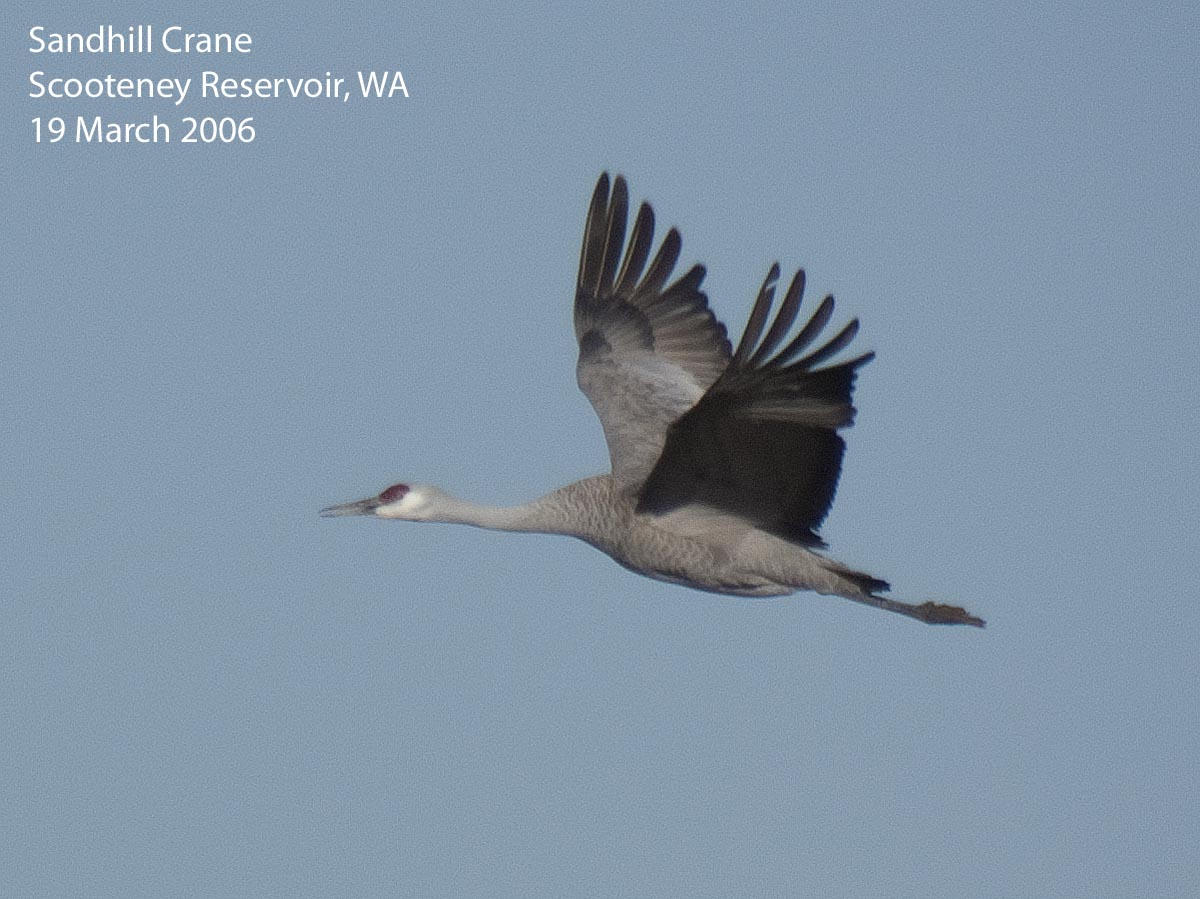 Northwest Nature Notes: CRANES AND HERONS