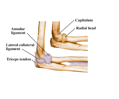 Exercise Anatomy for Students: The Elbow Joint