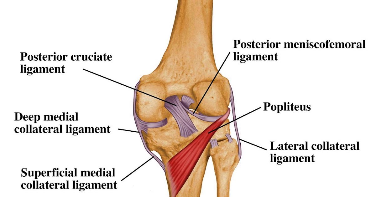 Exercise Anatomy for Students: Detail of the knees Joint
