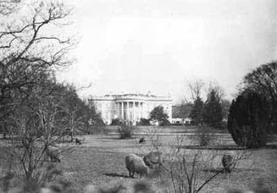 Sheep on White House lawn