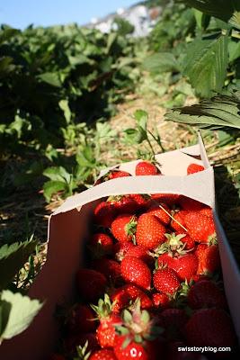 Pick Your Own Strawberries Urdorf Switzerland