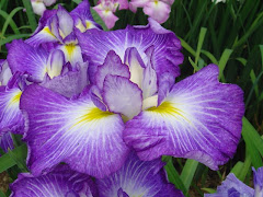 Japanese Iris