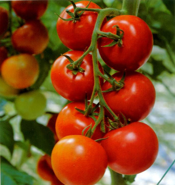 [tomato]