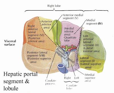 Liver Segment