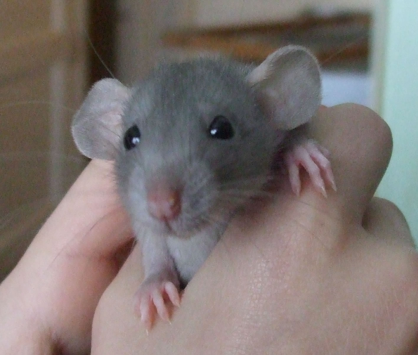 dumbo rat breeders essex