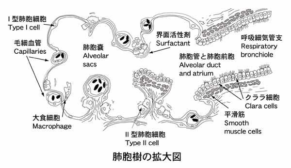 解剖、生理、栄養の覚え書き: 肺...