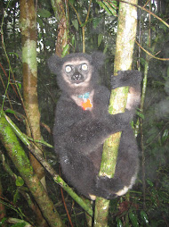 Indri indri