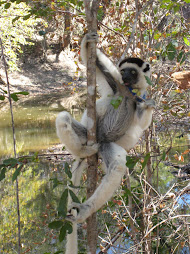 Verreaux&#39;s sifaka
