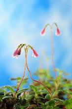 Blomsten Linnea