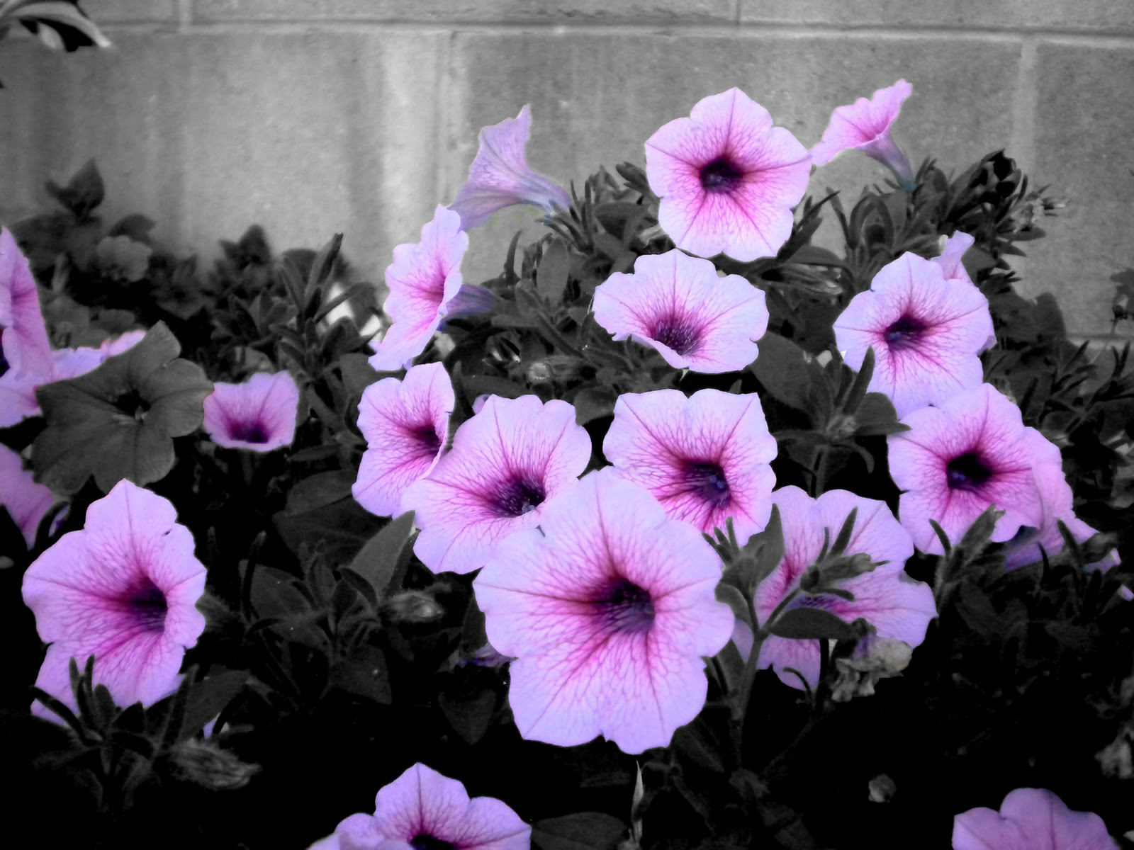 Posing Pansy By Vandas Pictures Purple Black And White Color