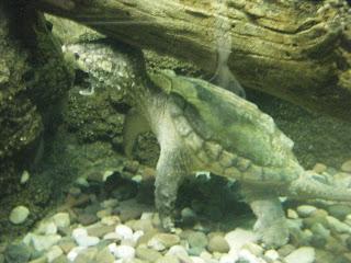 World Record Alligator Snapper