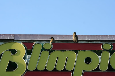 boat-tailed grackles on Blimpie's sign