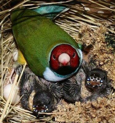 baby gouldian finches North Carolina