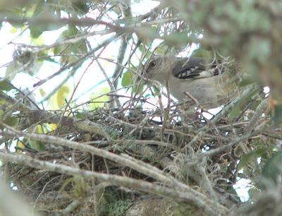 mockingbird nest