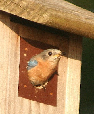 female bluebird in Frank Newell birdhouse