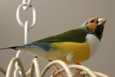 orange head white breasted male gouldian finch
