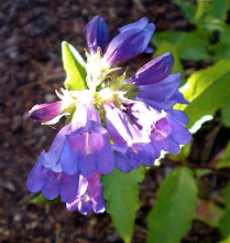 Penstemon serrulatus: Pacific Northwest Native Plant