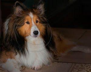 Reference image of dog portrait