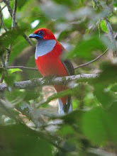 Whitehead&#39;s Trogon