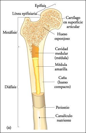 Mis Apuntes de Medicina: Anatomía-Osteología (00)