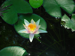 Our pond lily