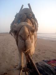 Kamelen selvsagt