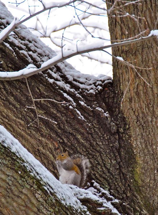 a carolina squirrel