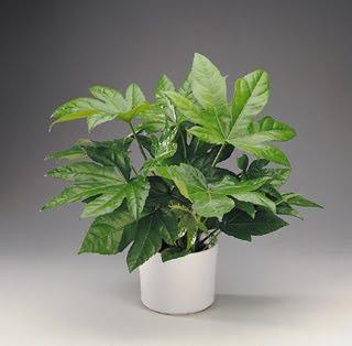 Plantas interior jardineria aralia sieboldi fatsia japonica for Plantas de interior hojas grandes