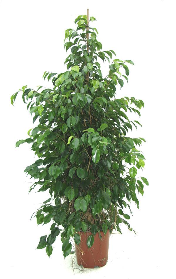 Plantas interior jardineria ficus de hoja peque a ficus - Plantas exteriores resistentes al sol ...