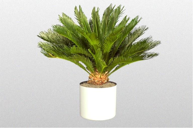 Plantas interior jardineria cica cycas revoluta - Plantas de interior palmeras ...