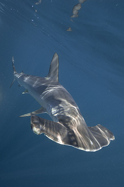 Hammerhead Shark Sphyrna Zygaena Animals A Z Animals | Search Results ...