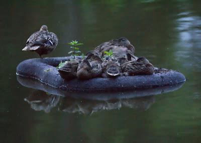 baby ducks island