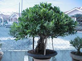Pokok Jawi