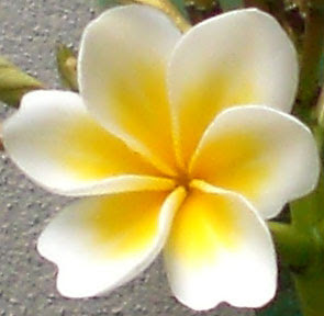 Light traveler frangipani flower with six petals my frangipani flower has six petals not five like all the other frangipanis in southeast queensland this has to be as lucky as finding a four leaf clover mightylinksfo