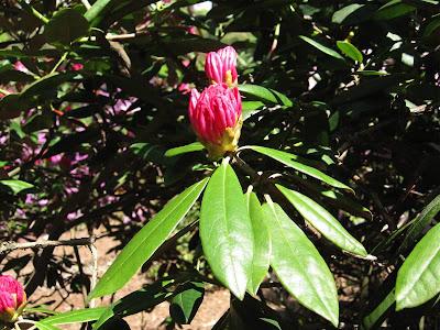 Eternal Flame Hybrid Tea Rose