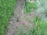 Rabbit on garden path