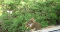 Chipmunk at window eating