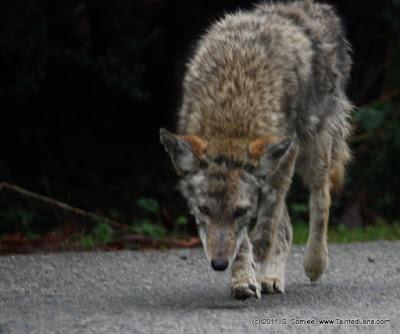 coyote sniffing for prey sadiq somjee