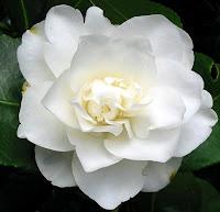 pure white camellia