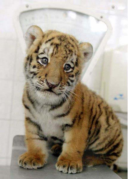 Baby tigers face - photo#15