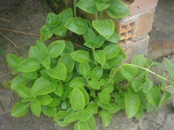 plantas do meu quintal