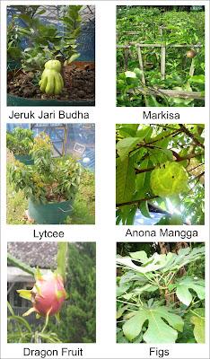 Gambar bibit pohon buah
