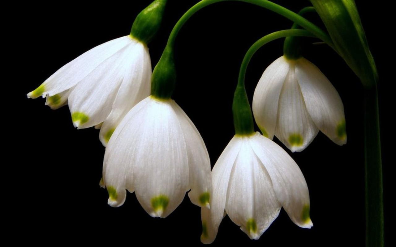 http://4.bp.blogspot.com/_2IU2Nt4rD1k/TTXYZc8nz9I/AAAAAAAACoI/G5IrM2y95ic/s1600/snowdrops_wallpaper_2.jpg