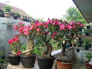 7 Tanaman Hias Terpopuler.alamindah121.blogspot.com