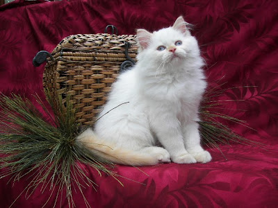 Xmas Cat Pics