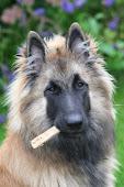 Min Belgiska Vallhund