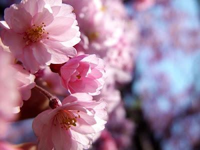cherry tree blossom. cherry tree blossom. cherry