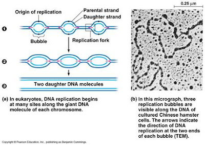 the origin of dna and molecular Bacterial chromosome the double-stranded dna of the circular bacteria chromosome is opened at the origin of replication, forming a replication bubble.